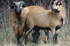 owce-11