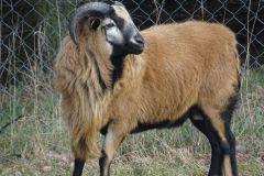 owce-3