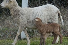 owce-4