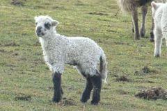 owce-6