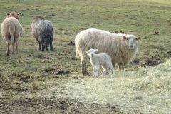 owce-8