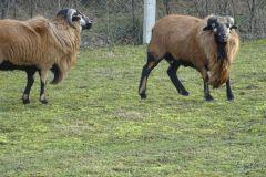 owce-9