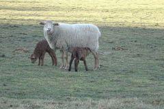 zwierzęta-owce-10