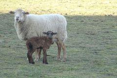 zwierzęta-owce-13