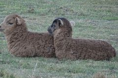 zwierzęta-owce-21