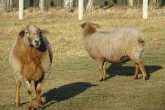zwierzęta-owce-9